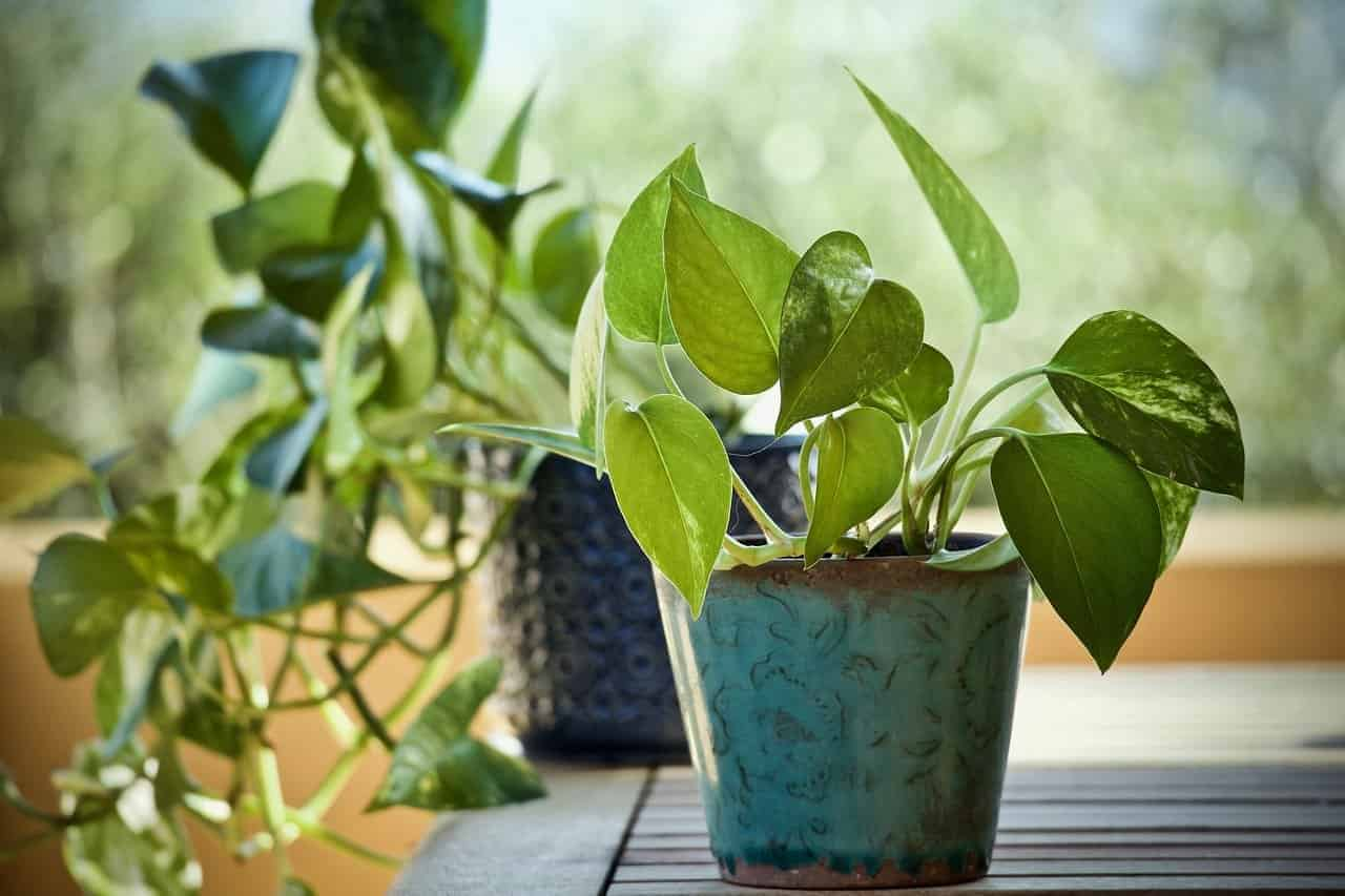 how often should i water pothos