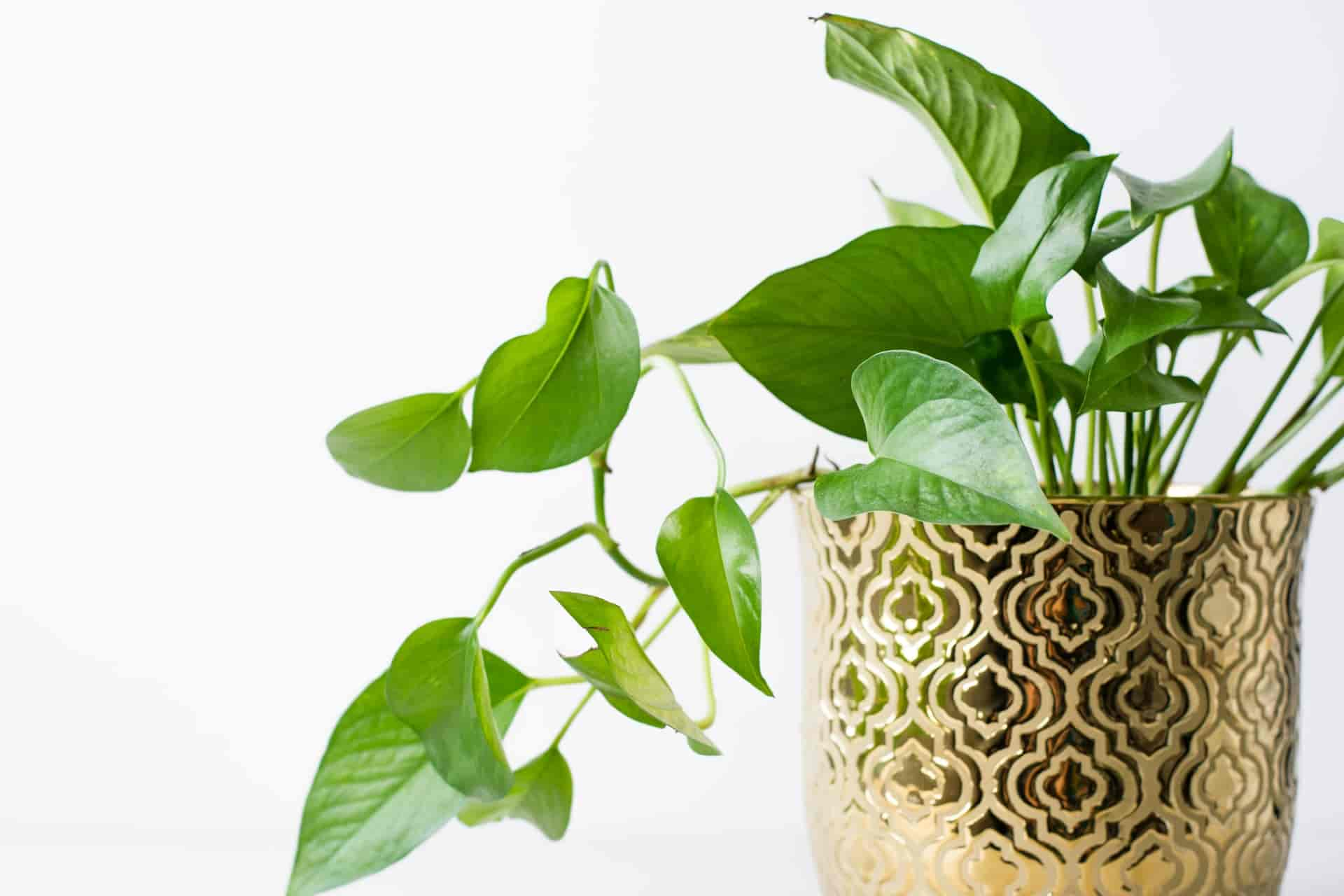 do pothos like to climb or hang