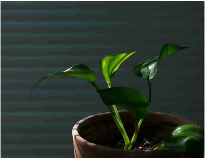 golden pothos companion plants