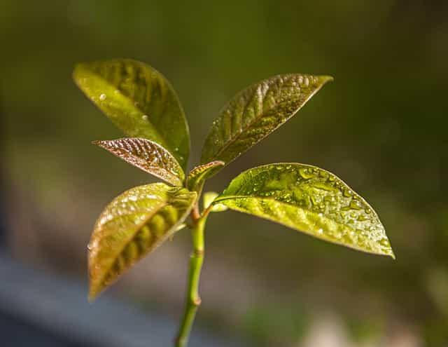 avocado plant wilting after transplant