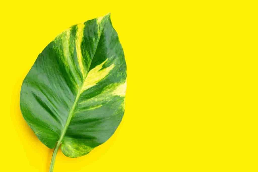 Pothos Leaves Turning Yellow