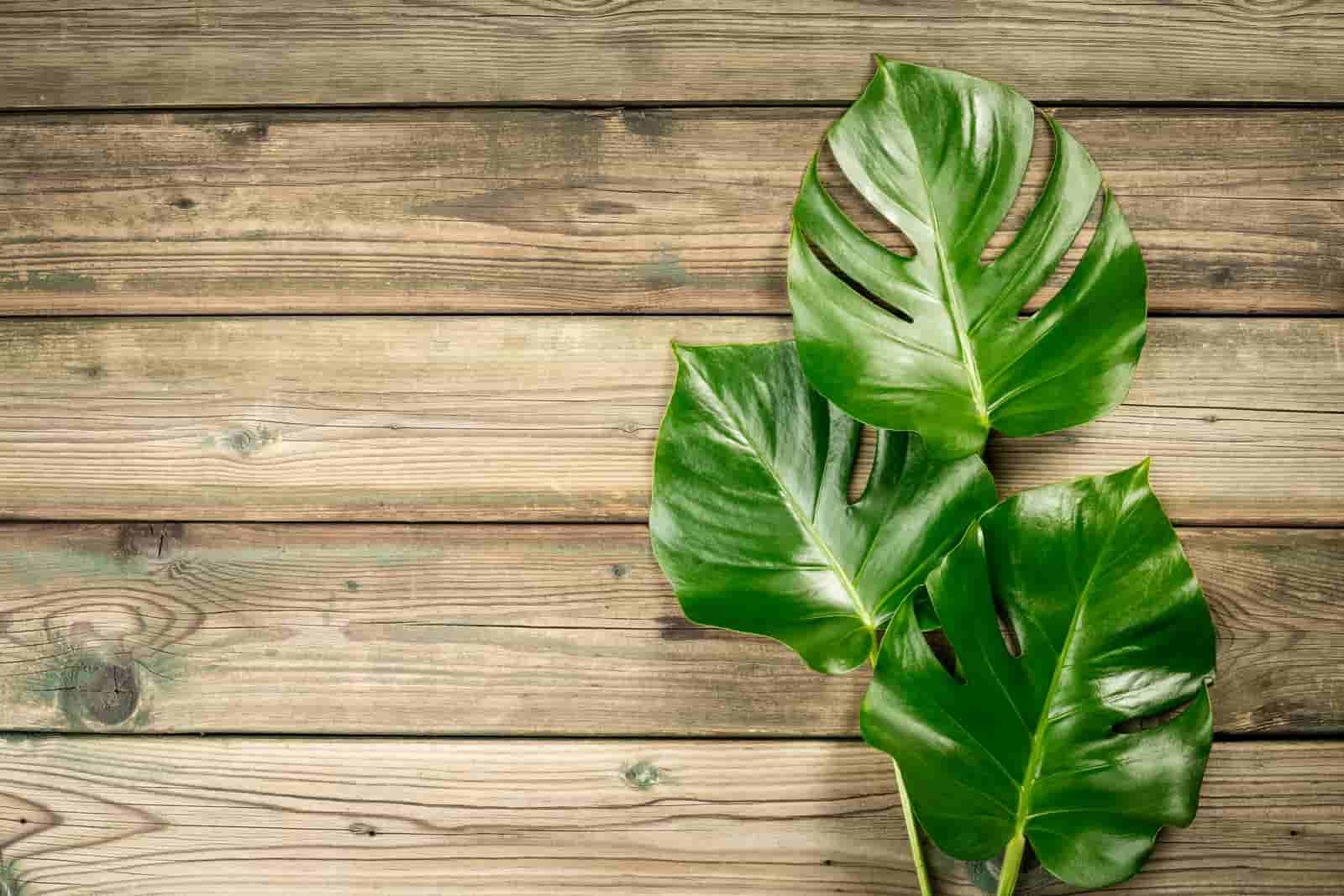 Monstera companion plants