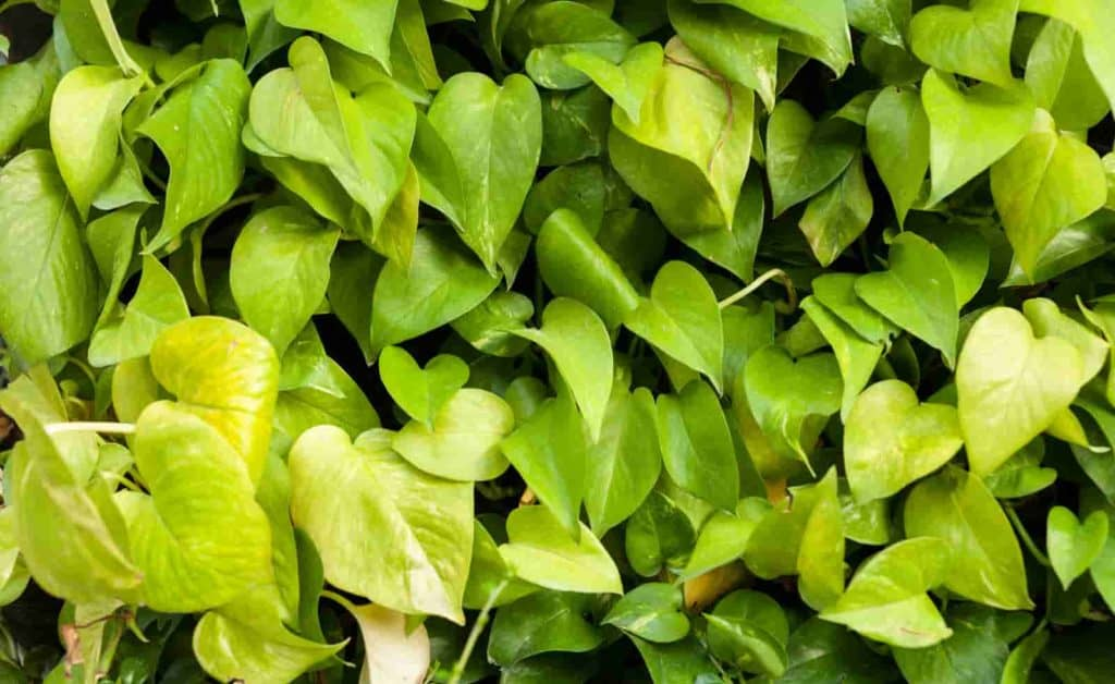 can pothos grow outside