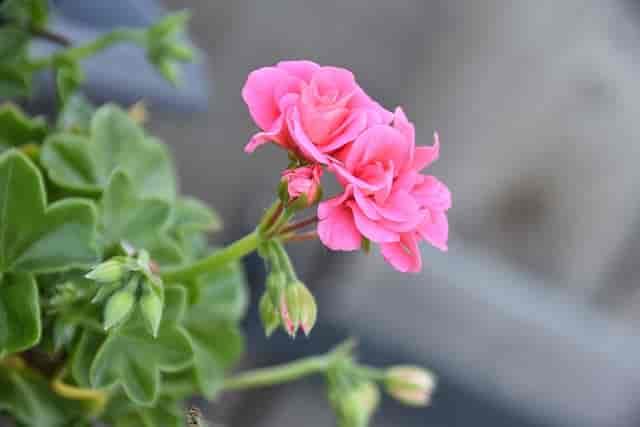 what makes geranium leaves turn yellow