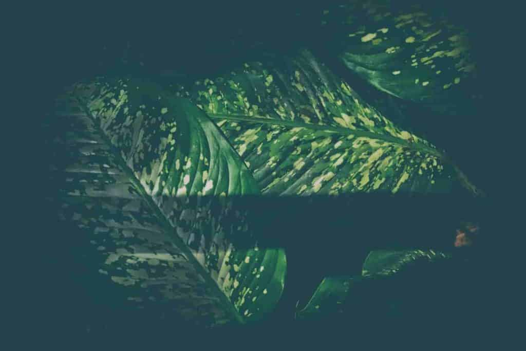 pothos leaves turning black
