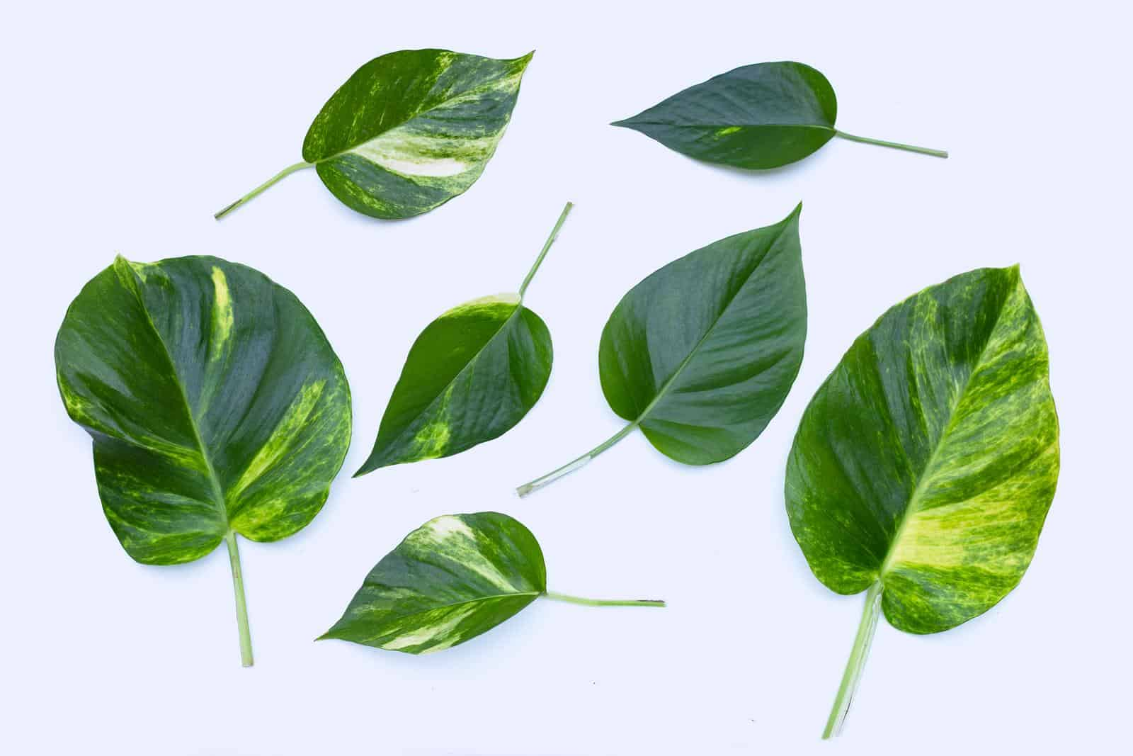 Why is Golden pothos called Devils Ivy
