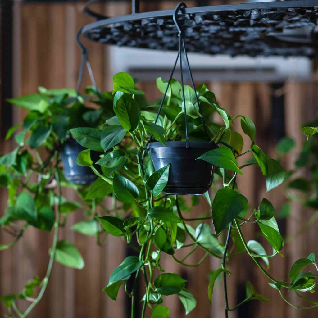 Where do you propagate pothos