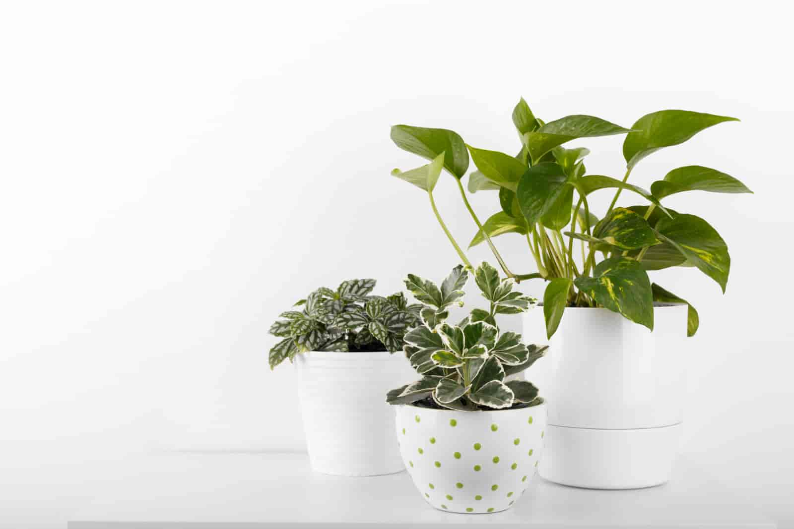 How long can a pothos plant live
