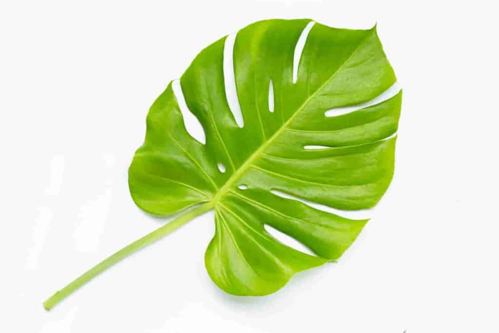how much light does monstera plant need