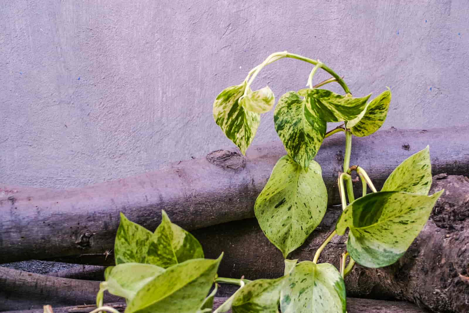 What can I do with long pothos vines