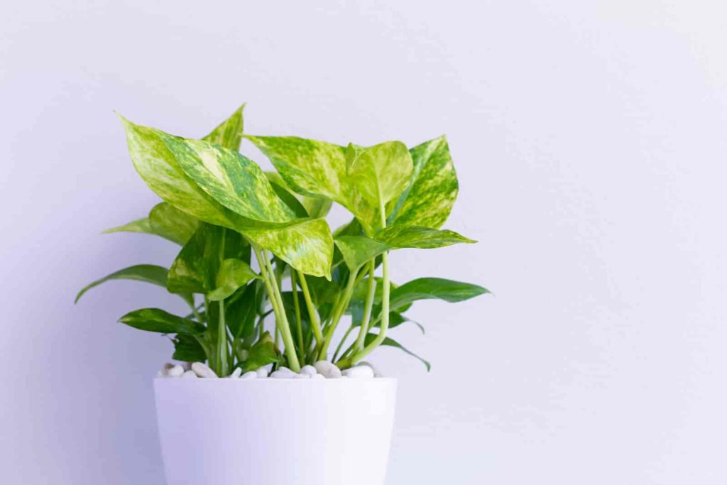 Is money plant and pothos same