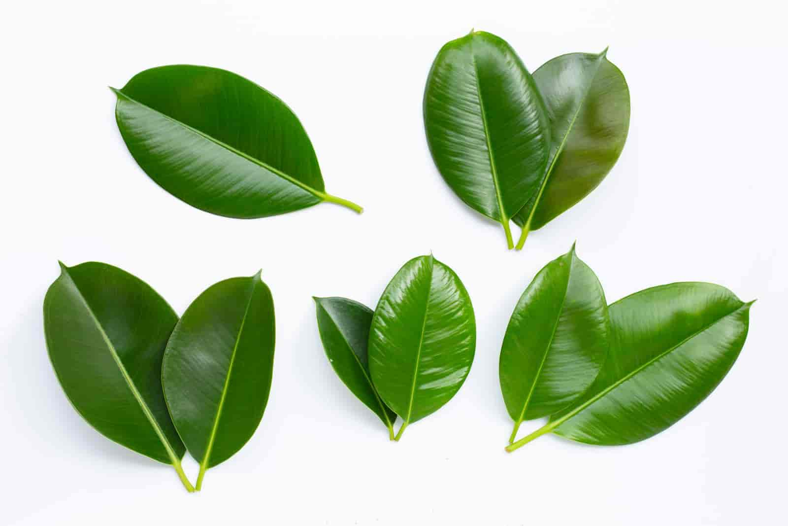 how to save a dying rubber tree plant