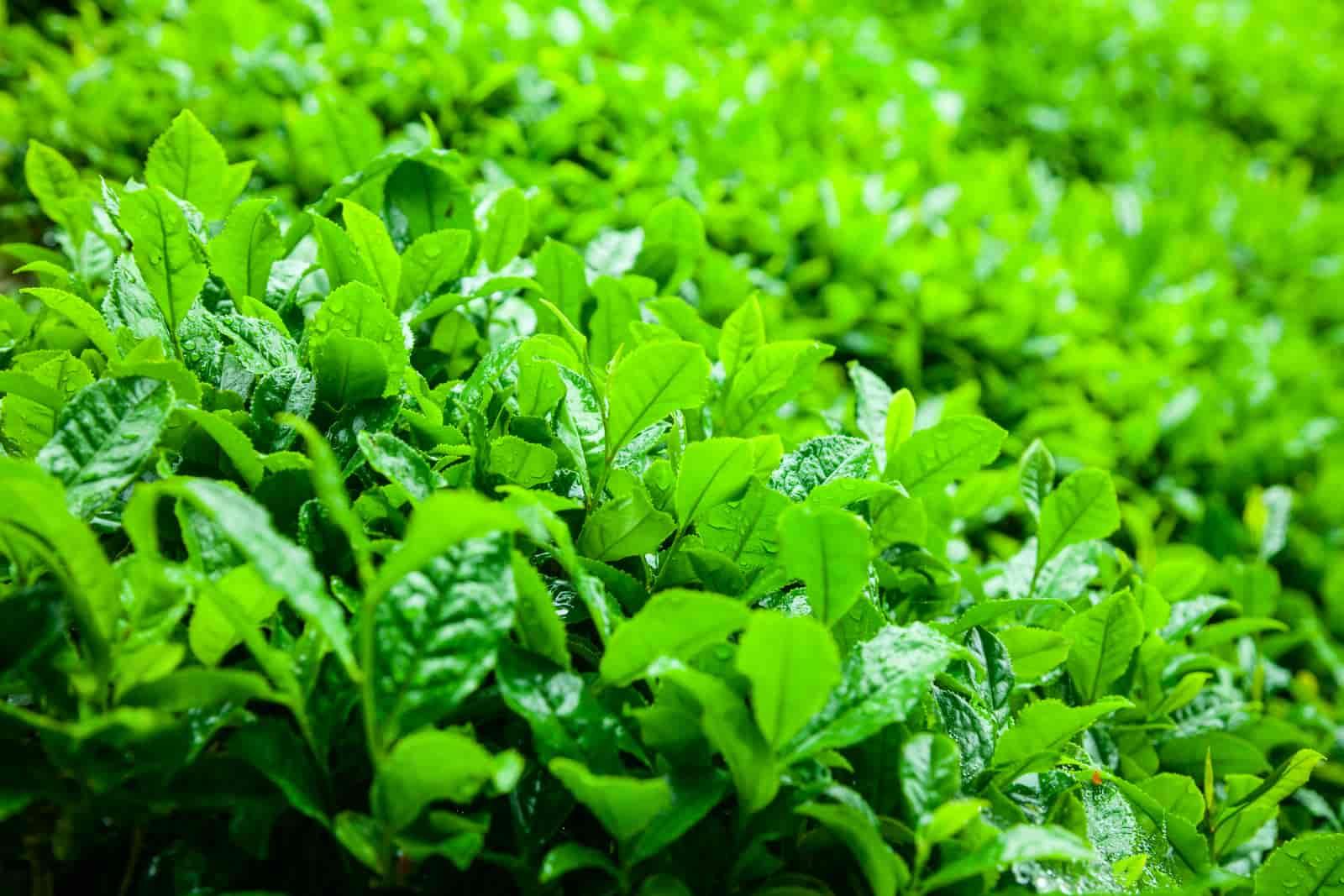 Are unused tea leaves good for pothos plant