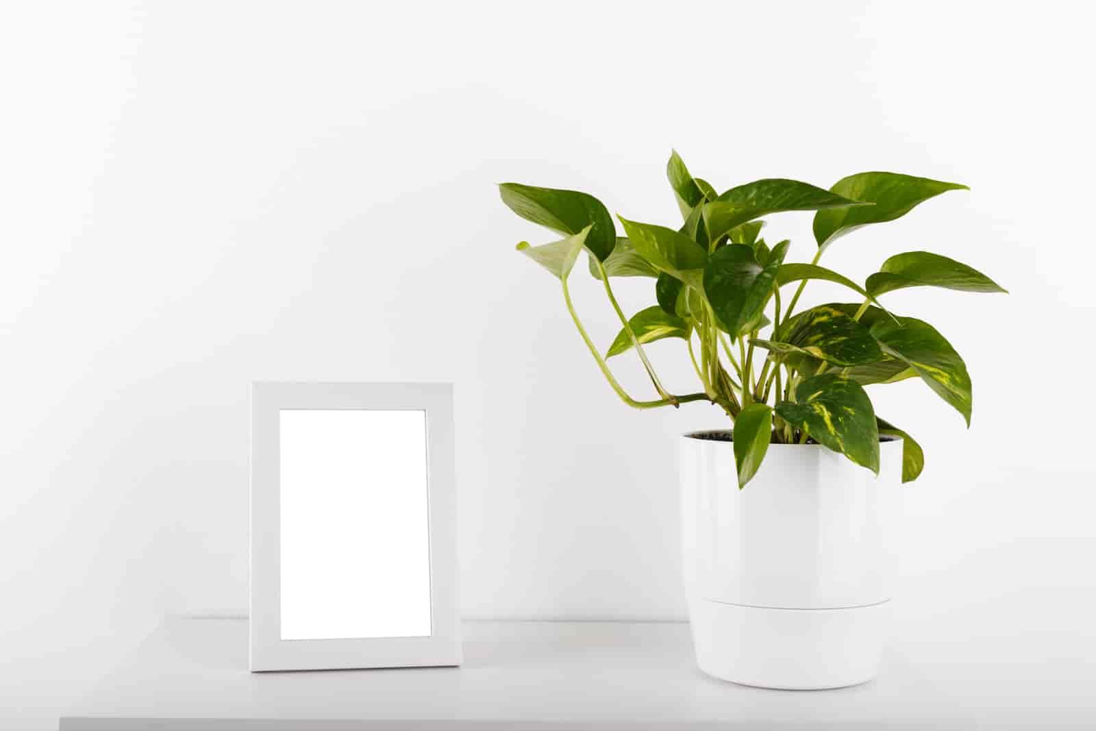 should you mist pothos plants