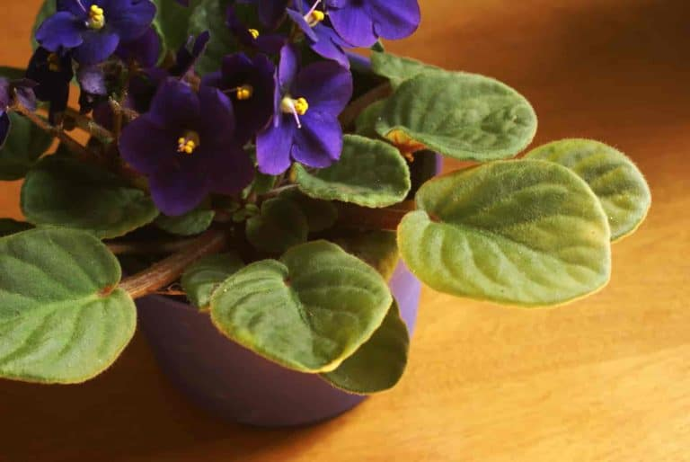 plants with heart shaped leaves