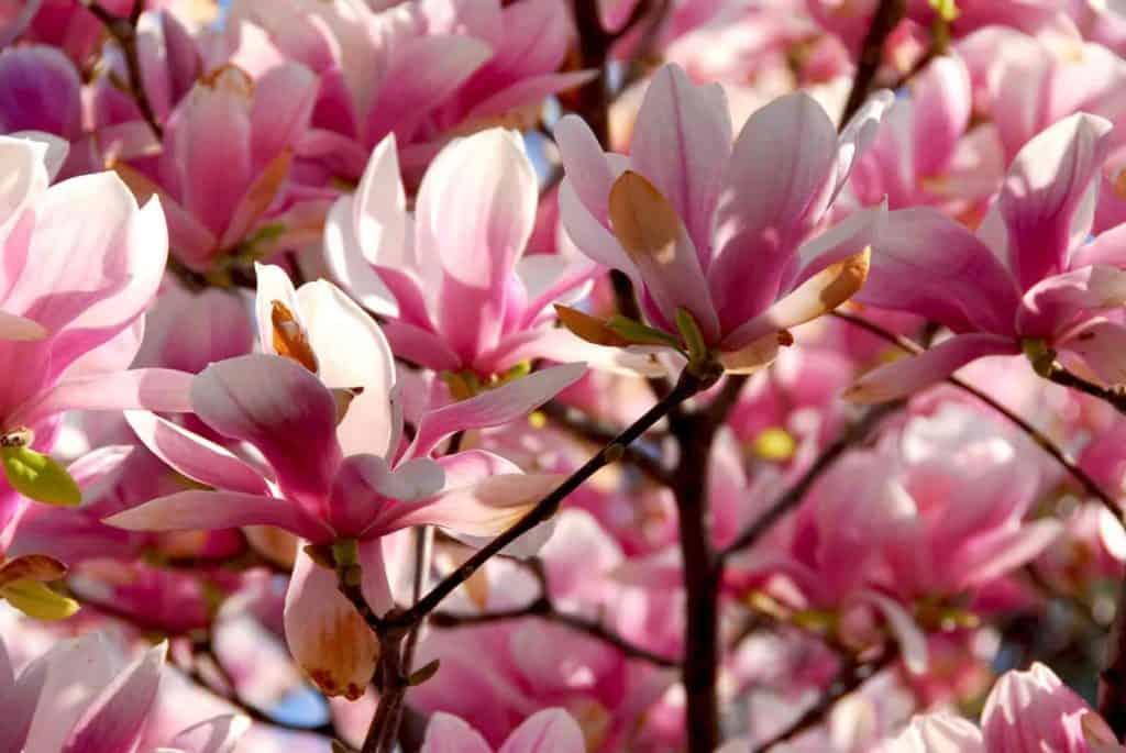 do magnolia trees bloom twice a year