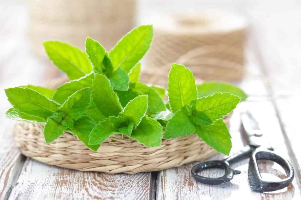 benefits of growing mint indoors