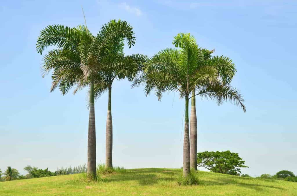 how much do royal palm trees cost