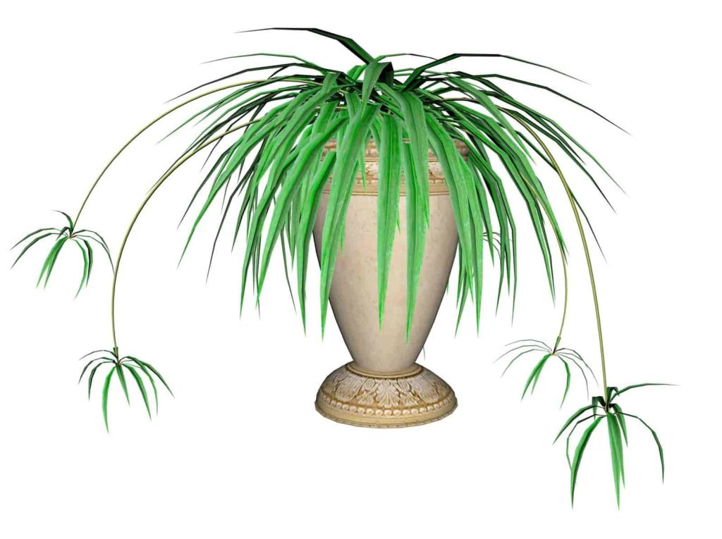 how long do spider plants live