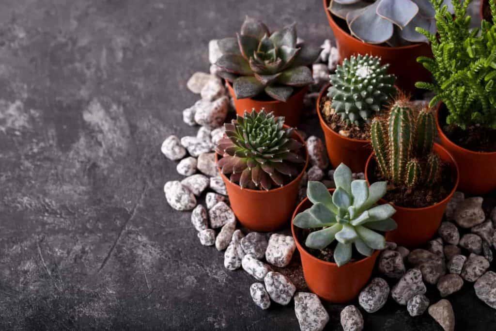 how fast do cactus grow