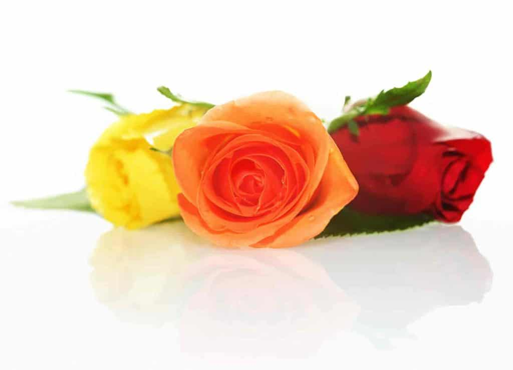 are roses monocots or dicots