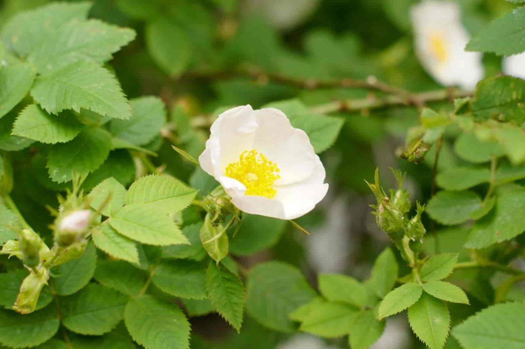 wild rose plant identification