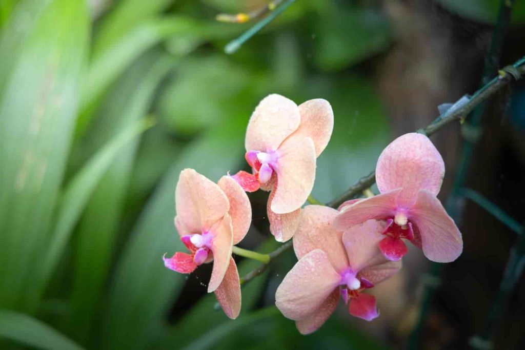 types of dendrobium orchids