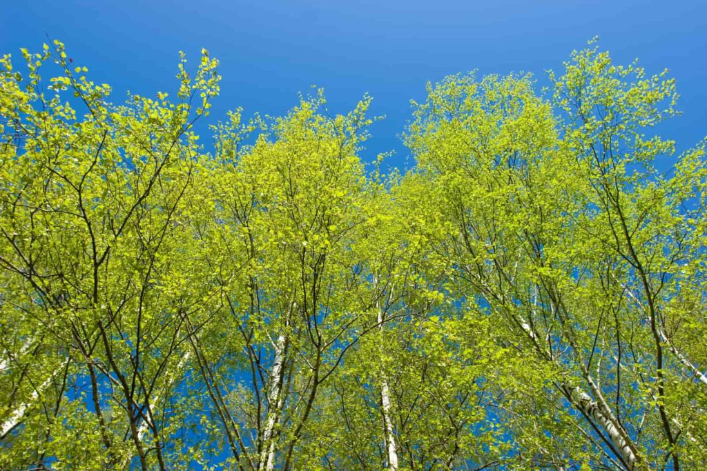 how many types of birch trees are there