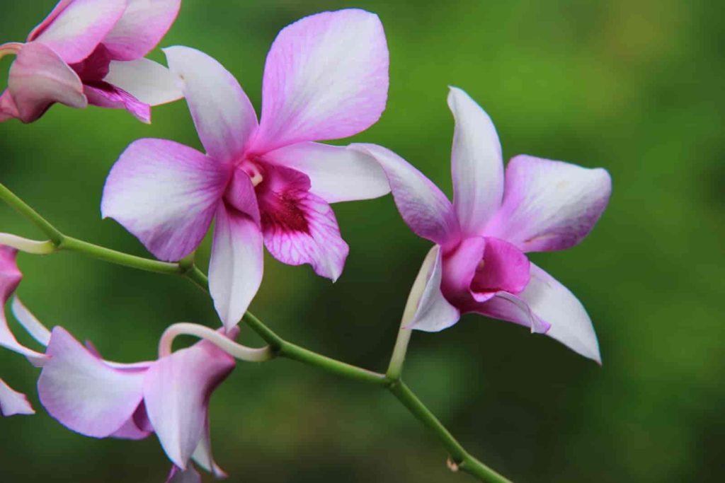 most fragrant orchids