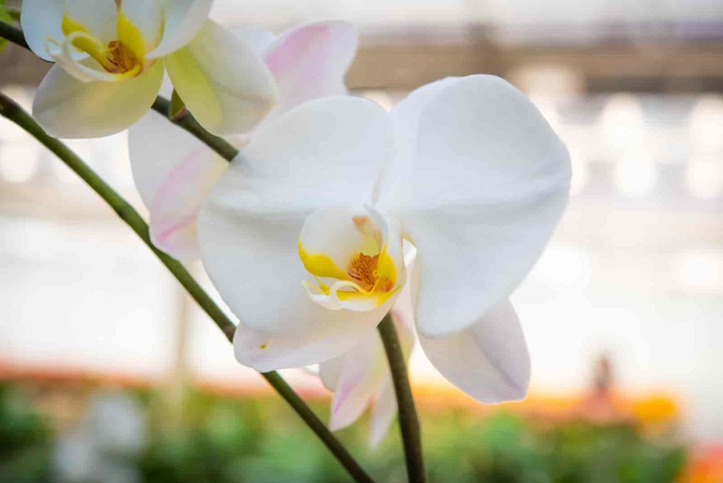 how to save an orchid leaves