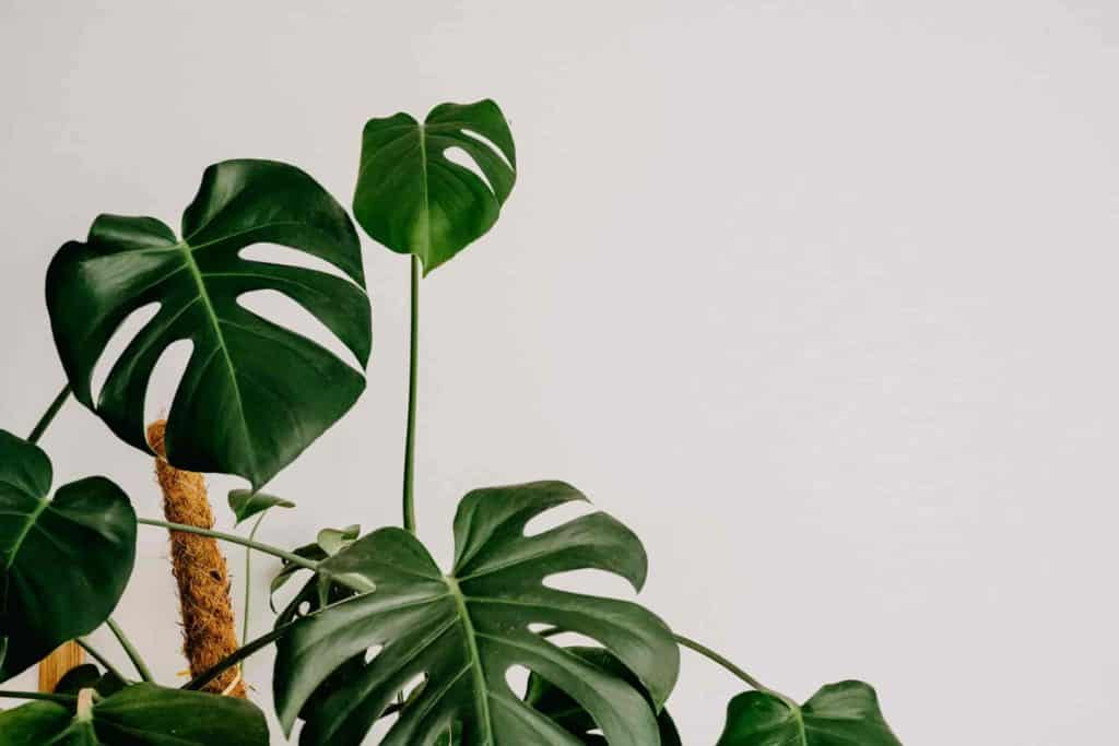 why is my monstera turning yellow
