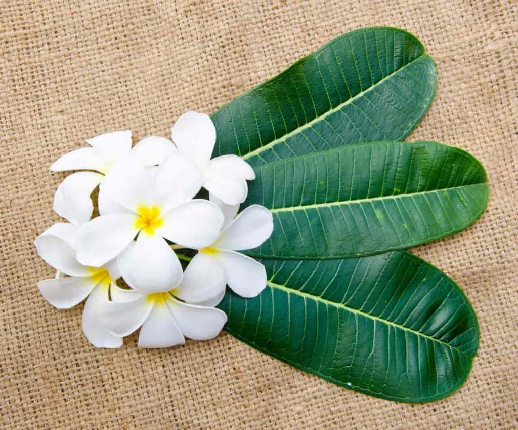 white spots on plumeria leaves