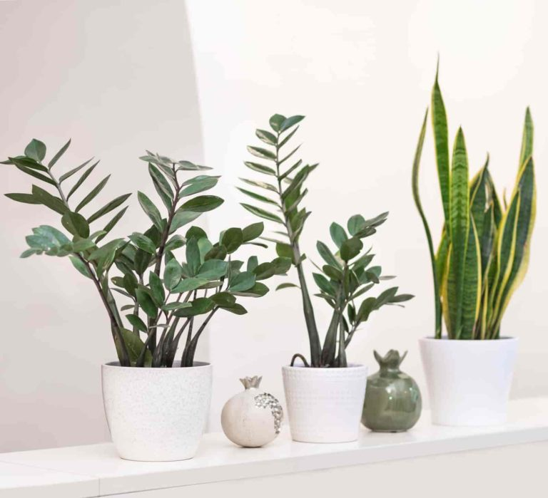 how to repot a zz plant