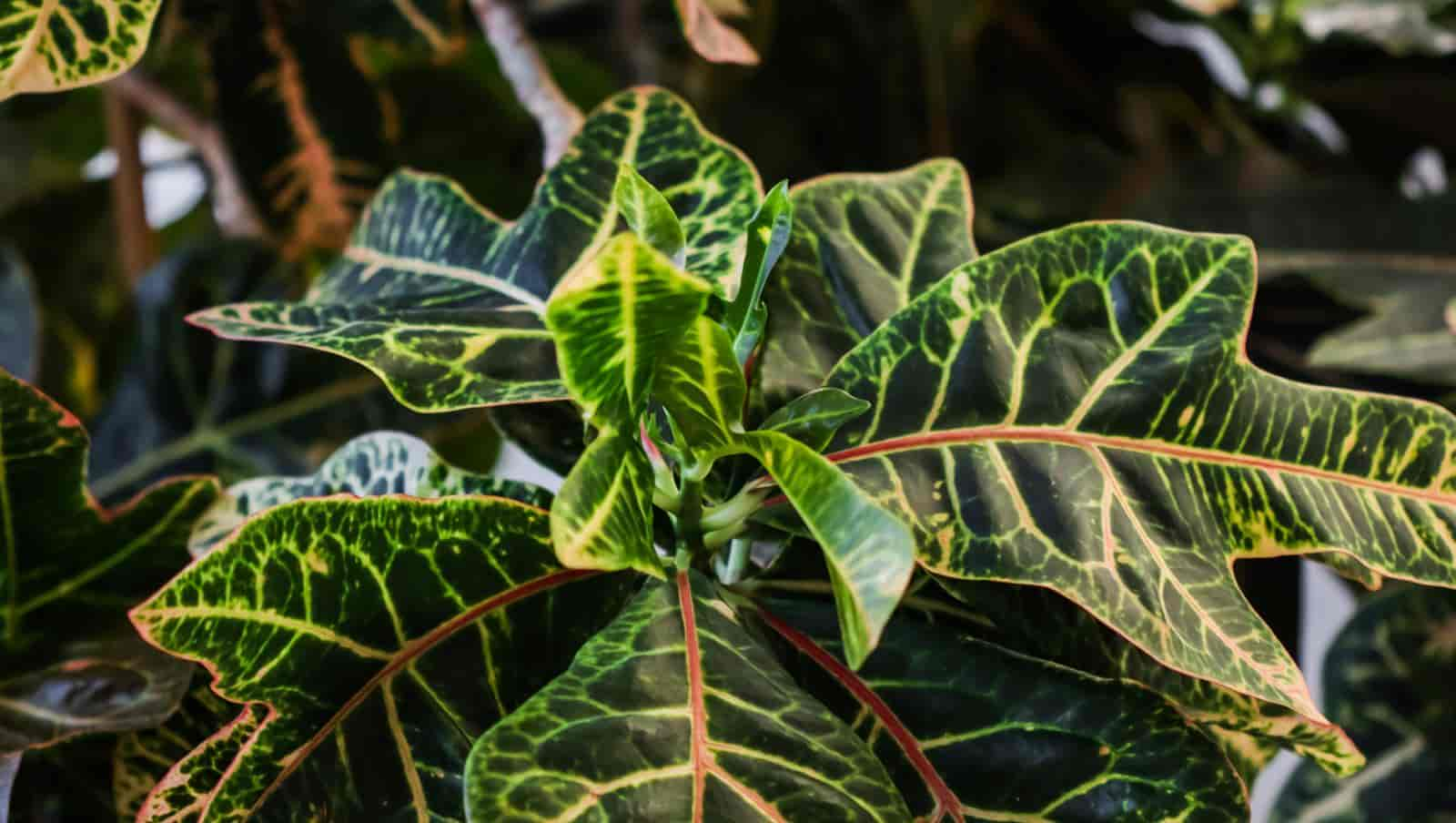 What plants look good with crotons