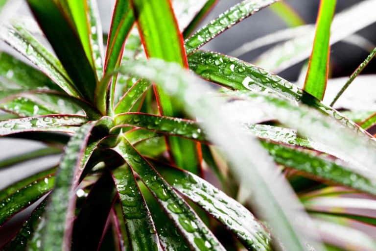 dracaena marginata leaves falling off