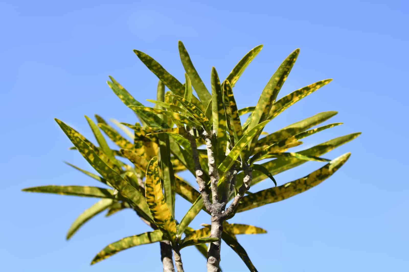 why do croton leaves turn yellow