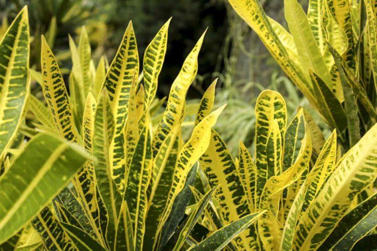 types of croton plant