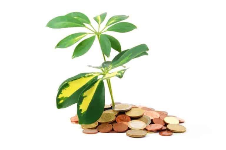 money tree leaves turning white